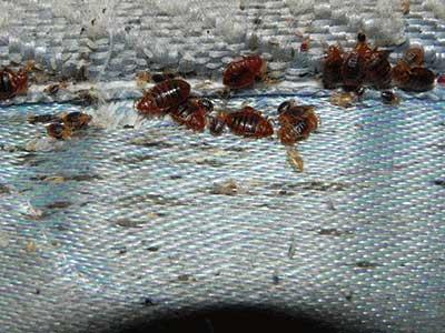 an infestation of bed bugs on a mattress