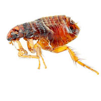 a dead flea