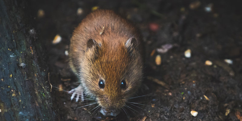 a brown mouse
