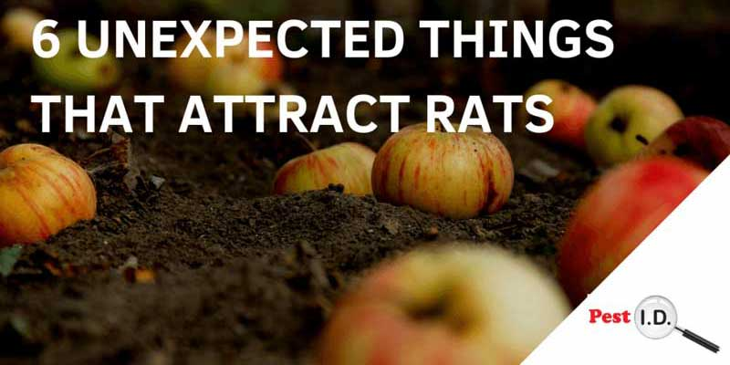 banner: 6 unexpected things that attract rats