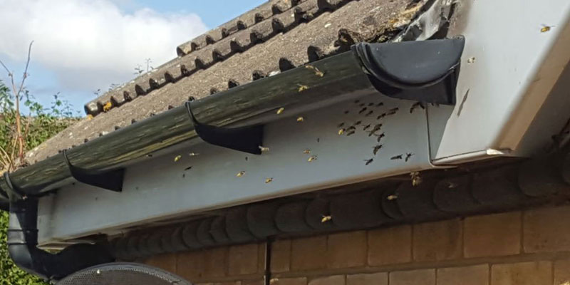 a swarm of wasps hovering by the eaves of a house