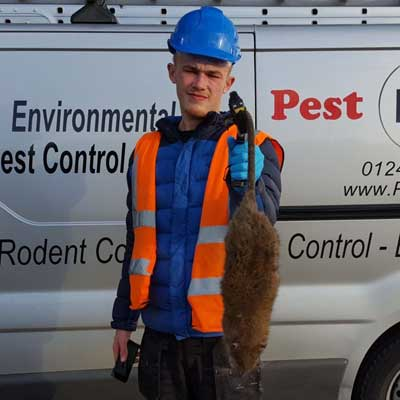 a pest id worker holding an enormous dead brown rat